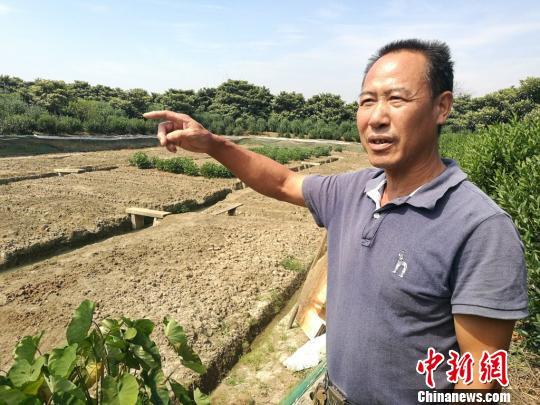 卜龙兴家的鱼塘经过挖沟起垄的改造,正改种枇杷、碧螺春茶等经济林木。