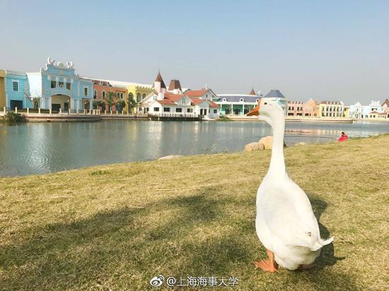 """""""咕咕""""将在上海海事大学生活。上海海事大学 图"""