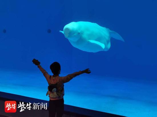 晨晨在开心地与大白鲸近距离互动。朱鼎兆 摄