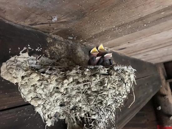 4只嗷嗷待哺的雏燕 本文图片均为徐征 摄