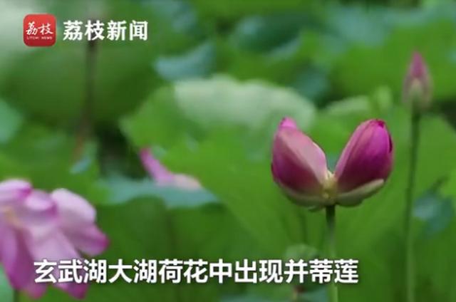 南京玄武湖罕见再现并蒂莲  生成的几率仅十万分之一