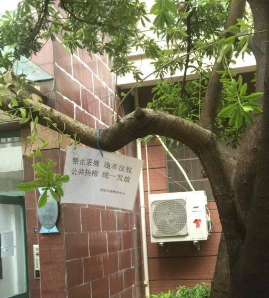"""""""南国名城""""小区里的杨梅树。 小区物业 供图"""