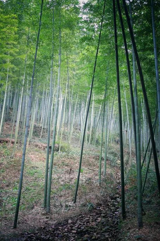 放眼望去,都是竹子。