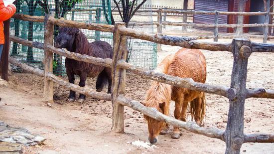 喂过羊驼矮脚马,苏小游立马奔赴目前国内拥有天鹅品种、数量最多的天鹅湖。