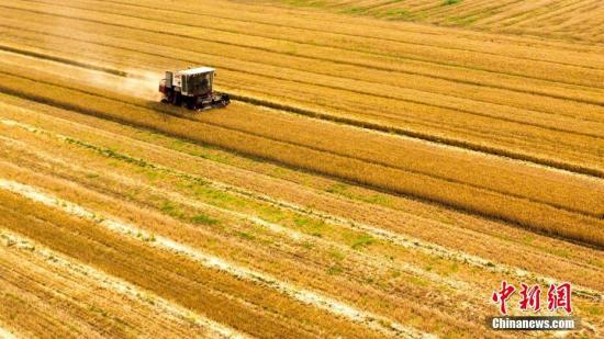 资料图:进入六月,山东多地小麦产区开镰麦收,开启夏收农忙模式。图为航拍麦收画面。宋广兴 摄