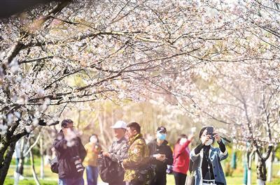 南京市民春日赏樱。邵 丹摄