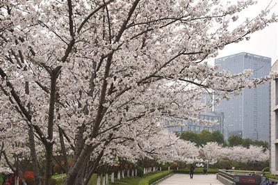 中国药科大学校园内樱花烂漫。戴荣森 摄 视觉江苏网供图