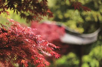 栖霞山景区的春红枫。 新华报业视觉中心记者 邵丹 摄