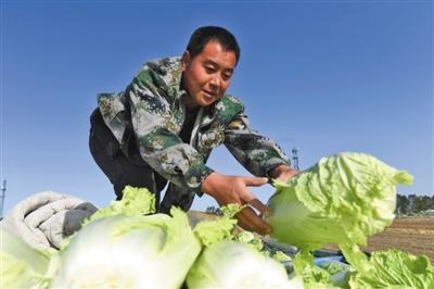 农民将清理好的大白菜码放整齐。