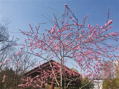常州:桃花初绽来探春
