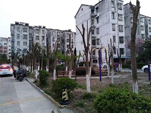 东台市茶城花园休闲广场被指近百棵大树被拦腰砍断。 爆料人王先生供图
