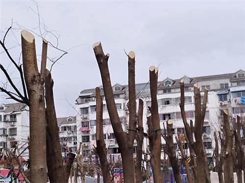 东台市茶城花园休闲广场被指近百棵大树被砍断。 爆料人王先生供图