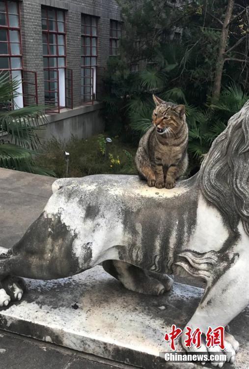 其实这只猫生活在南京农业大学好几年了,很多学生都很喜欢它。