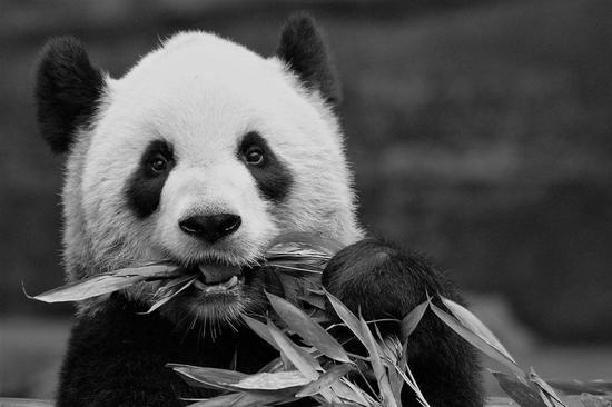 """雌性成年大熊猫""""二顺""""。卡尔加里动物园供图"""