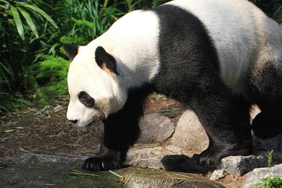 """雄性成年大熊猫""""大毛""""。卡尔加里动物园供图"""