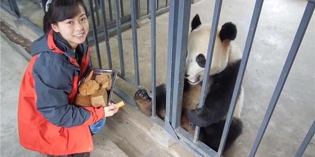 南京女孩?#21019;?#36861;熊猫 当上饲养?#34987;?#23233;了个饲养员