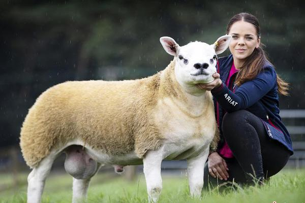 """""""世界上最贵的羊""""诞生 拍出36万英镑天价"""