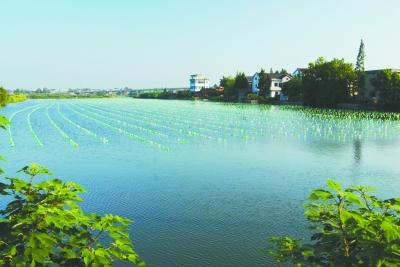 高淳区一家关停前的珍珠养殖基地,水面上塑料瓶排列成行,蔚为壮观。 本报通讯员 杨军摄