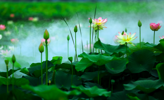 淮安夏季赏荷活动 带你寻找最美的夏雨荷