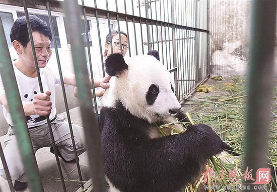 红山动物园熊猫兄弟搭专车回四川 回家娶媳妇