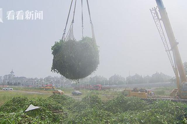 """上海水葫芦""""爆发"""" 日均打捞近千吨"""