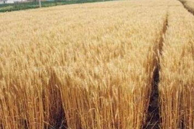 调查报告发出预警:种小麦连亏 挫伤农民积极性