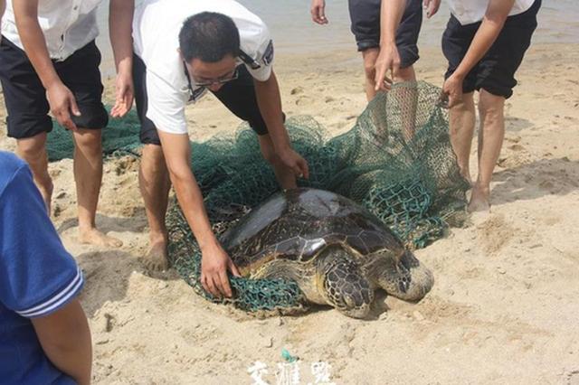 盐城东台渔民捕到少见绿海龟 现已送回大海