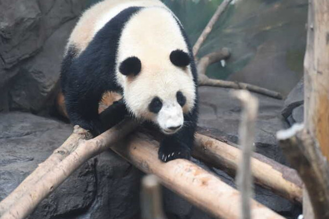 """网红大熊猫""""平平"""" 今天中午来南京新家"""