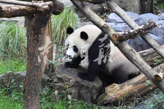 """网红大熊猫""""平平""""抵宁 到""""家""""先洗头忙整装"""