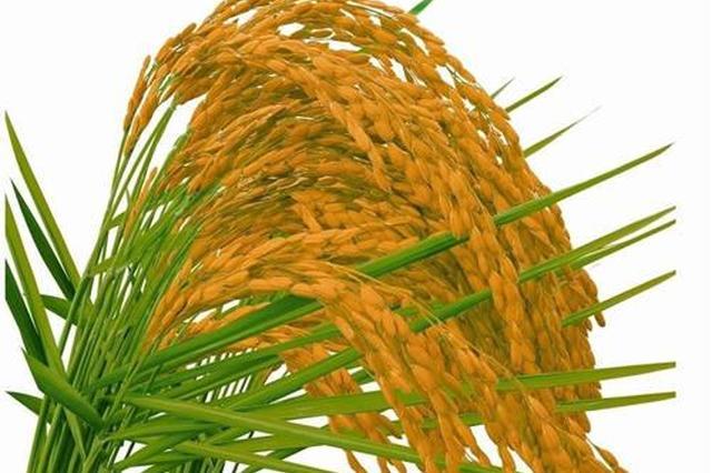 新米效应消退、稻价下跌 江苏启动秋粮最低价收购