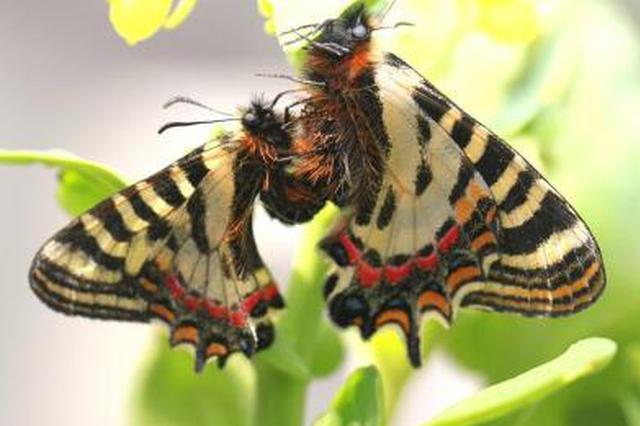 南京中华虎凤蝶仅存83只 加强栖息地保护迫在眉睫