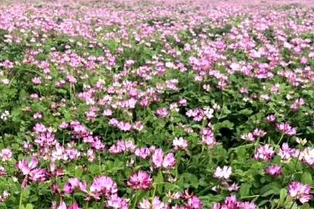"""300亩紫云英悄然绽放 扬中重现记忆中的""""红花海"""""""
