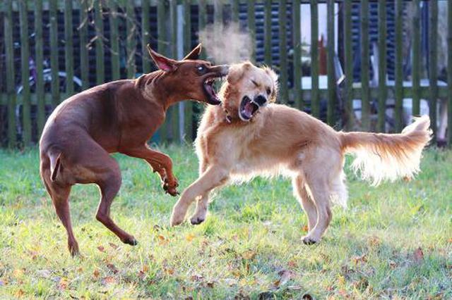 两只狗打架结果伤了人,究竟该谁赔?