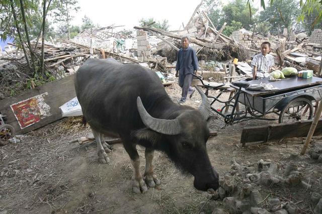 千斤重水牛挣脱绳索公路上狂奔 与急驶轿车撞个正着