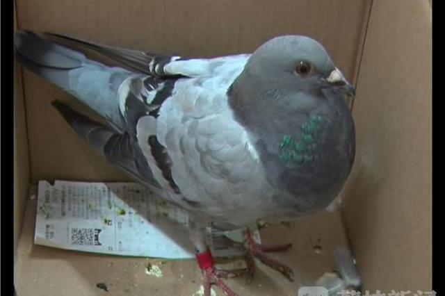 国内首起信鸽比赛舞弊案宣判 鸽子竟乘高铁回巢