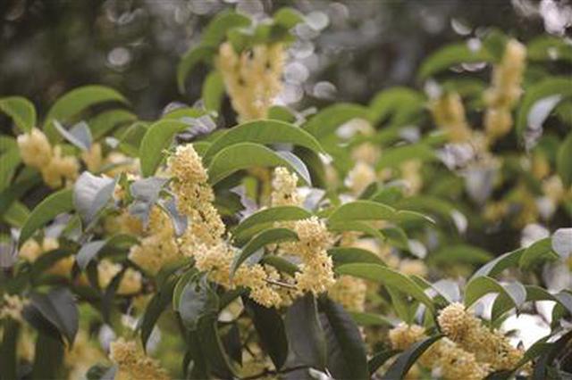 金陵古都的初秋时节已至 灵谷景区早桂步入花期