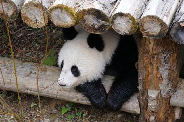 首对海归大熊猫龙凤胎回国