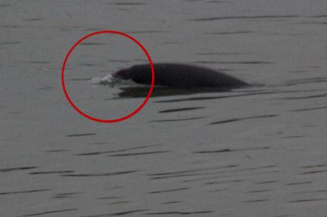 疑似白鳍豚现身南京夹江 被宣布功能性灭绝近11年