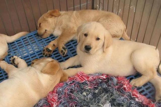苏州个人禁养大型犬、烈性犬 这些犬种在列