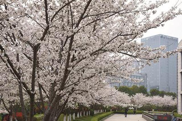 南京又添一赏樱点!中国药科大学樱花大道上演烂漫春景