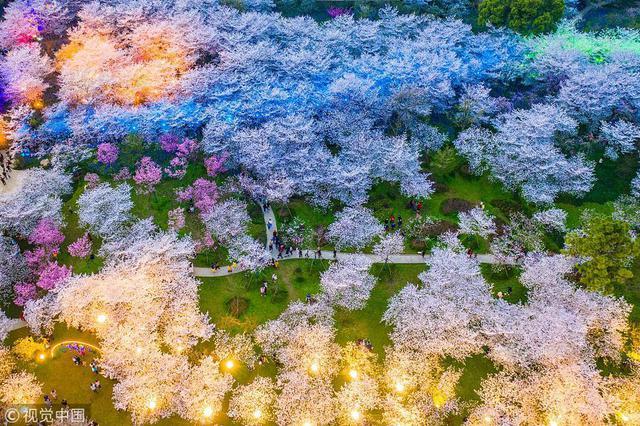 美爆了!航拍樱花园夜景