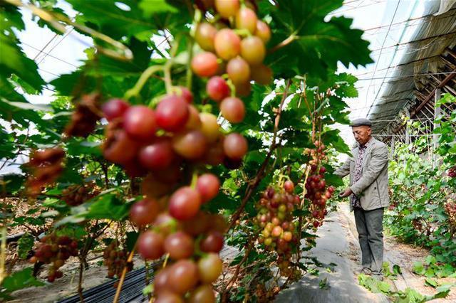 """水果涨价产地追踪:""""去年倒春寒让苹果减产30%"""""""