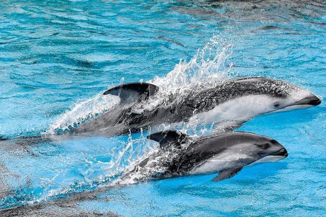 珠海三头新生太平洋白边海豚宝宝与游客见面