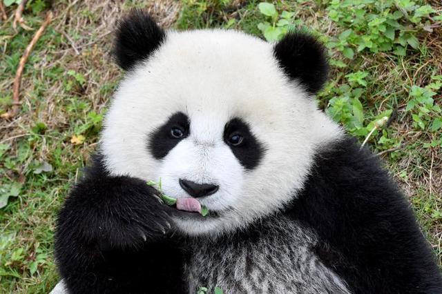 """大熊猫宝宝在""""熊猫幼儿园""""里撒欢卖萌"""