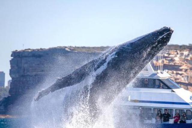 """30吨座头鲸跃出海面 游客近距离领略""""翻江倒海"""""""