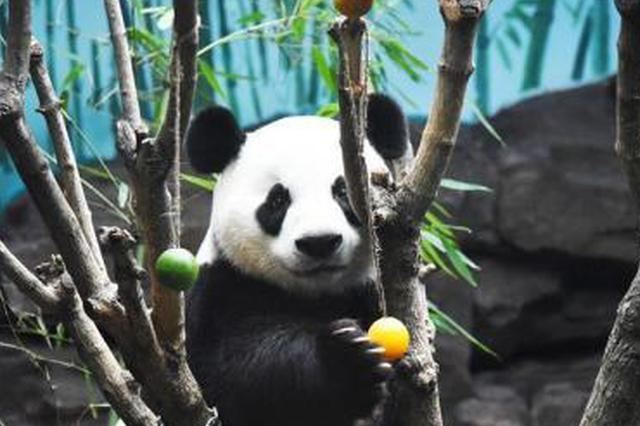 济南高温潮湿 大熊猫吹空调吃冰镇水果清凉一夏