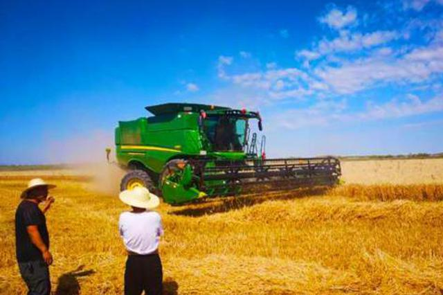 新疆东天山迎来夏收 小麦开镰收割