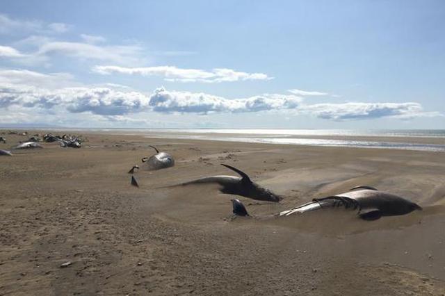 冰岛海滩现搁浅鲸鱼群 半掩沙土中触目惊心