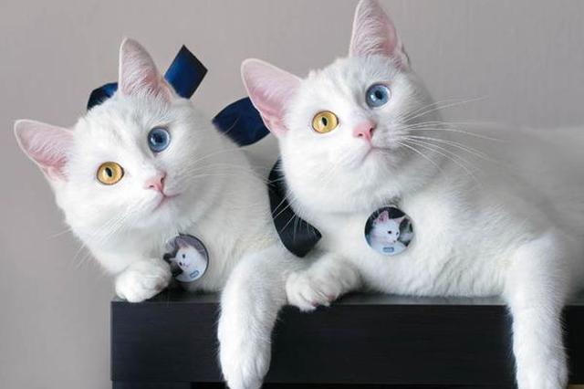 羡慕铲屎官!双胞胎喵星人天生异瞳超高颜值成网红