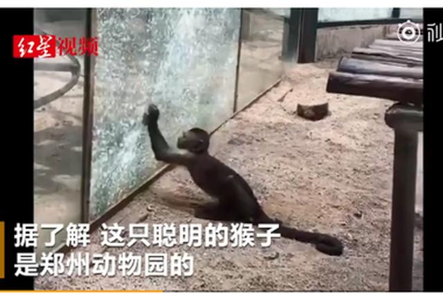 """动物园猴子太聪明 用石头砸玻璃想""""越狱""""?"""